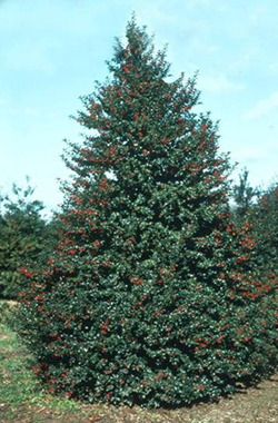 Photo: Red Beauty Holly tree.