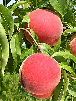 Photo: Messina ™ Peaches.