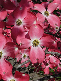 Photo: Red Beauty Dogwood Tree.