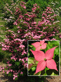 Dogwood Tree Varieties Rutgers Licensing And Technology
