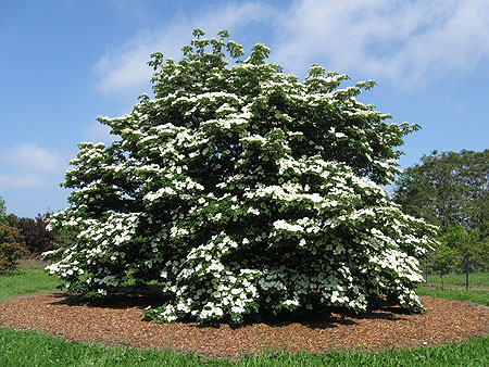 dogwood trees flowering dogwood trees belong to the family. Black Bedroom Furniture Sets. Home Design Ideas